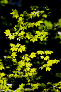 Dave Walton - Sunny Backlit Maple