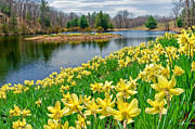 Connecticut Landscape Photos - Sunny Daffodil by Bill  Wakeley