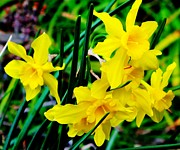 Jonquils Photos - Sunny Daffodils by Cathy Lindsey