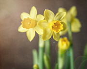 Daffodils Posters - Sunny Daffodils Poster by Lisa Russo