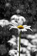 Sunny Disposition Despite Showers Print by Lisa Knechtel
