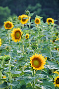 Sunny Faces Print by Jan Amiss Photography