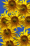 Flowers Scent Digital Art - Sunny Gets Blue by John Haldane