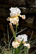 Peach And White Prints - Sunny Irises Print by Maria Urso - Artist and Photographer