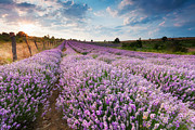 Bulgaria Photo Prints - Sunny Lavender Print by Evgeni Dinev