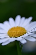 Hill and Dale Photography - Sunny Side Up Daisy