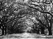 Live Oaks Photos - Sunny Southern Day - Black and White 24 X 18 by Carol Groenen