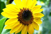 Sunflower Prints Prints - Sunny Sunflower Print by John and Veronica Vandenburg