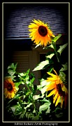 Posters On Digital Art - Sunny Sunflowers by Bobbee Rickard
