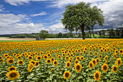 Barns Posters - Sunny Sunflowers Poster by Debra and Dave Vanderlaan