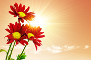Sun Photo Posters - Sunrays Flowers Poster by Carlos Caetano