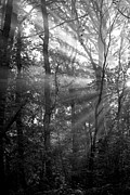 Tree Art Print Framed Prints - Sunrays Through the Trees in Black and White Framed Print by Natalie Kinnear