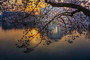 Cherry Blossoms Framed Prints - Sunrise At The Thomas Jefferson Memorial Framed Print by Susan Candelario