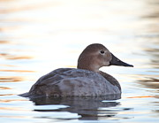 Ruth Jolly - Sunrise canvasback