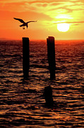 North Carolina Birds Prints - Sunrise Descent - Outer Banks Ocracoke Print by Dan Carmichael