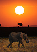 John Hebb - Sunrise Elephants