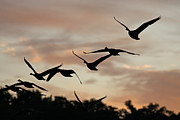 Jim Nelson Art - Sunrise Geese by Jim Nelson
