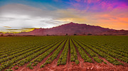 Inspirational Greeting Cards Posters - Sunrise Over Lettuce Field Poster by Robert Bales