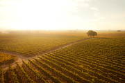 Lens Flare Prints - Sunrise Over the Vineyard Print by Diane Diederich