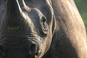 Rhinoceros Framed Prints - Sunrise Rhino Framed Print by Alison Kennedy-Benson