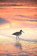Henry Kowalski - Sunrise Shorebird