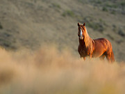 Horse Herd Photo Prints - Sunrise Stallion Print by Carol Walker