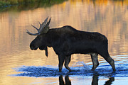 Bull Moose Posters - Sunrise Stroll Poster by Mark Kiver