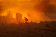 Springbok Prints - Sunset at Okaukeujo Print by Grobler Du Preez