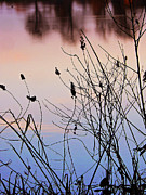 Dried Reeds Posters - Sunset at the Pond Poster by Pamela Patch