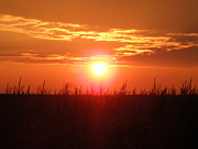 Cornfield Photos - Sunset Crop by Gary Koett