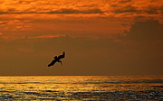 Pelican Photos - Sunset Dive by AJ  Schibig