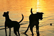 Dog Play Beach Framed Prints - Sunset Dogs  Framed Print by Laura  Fasulo