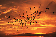 Burst Prints - Sunset Flight Print by Mandy Shupp