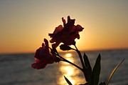 Panama City Beach Prints - Sunset Flower 2 Print by May Photography