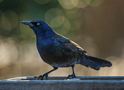 Jim Moore - Sunset Grackle