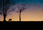 Bovine Art - Sunset Grazing by Anne Beatty