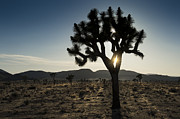 Southwest Landscape Metal Prints - Sunset in Joshua Tree National Park Metal Print by Sandra Bronstein