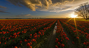 Tulip Flower Prints - Sunset in the Skagit Valley Print by Mike Reid
