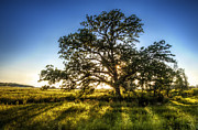 Tree Branches Posters - Sunset Oak Poster by Scott Norris