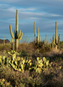 Saguaro Cactus Posters - Sunset on the Saguaros Poster by Sandra Bronstein