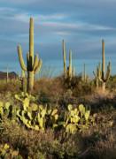 Sandra Bronstein - Sunset on the Saguaros
