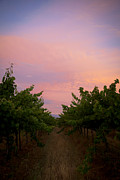 Serene Maisey - Sunset on Vines