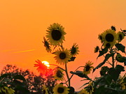 David Lankton - Sunset over Sunflowers