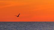 Peta Thames - Sunset Pelican