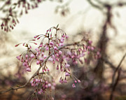 Lisa Russo Prints - Sunset Redbud Print by Lisa Russo