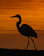 Great Heron Photos - Sunset Stroll by Carl Jackson