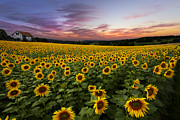 Pasture Scenes Posters - Sunset Sunflowers Poster by Debra and Dave Vanderlaan