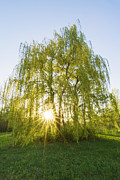 Mircea Costina Photography - Sunset Willow