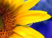 Flower Gardens Photos - Sunshine Blue by Karen Wiles
