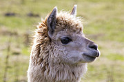 Peruvian Llama Prints - Sunshine Llama Print by Derek Beattie